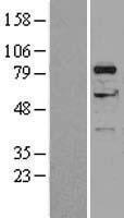NBL1-09851 - DGKA Lysate