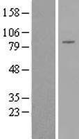 NBL1-09853 - DGKB Lysate