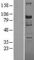 NBL1-09854 - DGKG Lysate