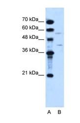 NBP1-59591 - DHOdehase