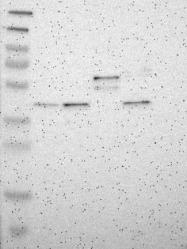 NBP1-86097 - DHOdehase