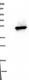 NBP1-86110 - DHOdehase