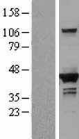 NBL1-09864 - DHPS Lysate