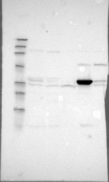 NBP1-83560 - DHRS1