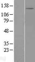 NBL1-09879 - DHX30 Lysate