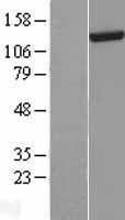 NBL1-09880 - DHX30 Lysate