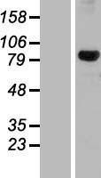 NBL1-09881 - DHX32 Lysate