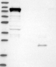 NBP1-84286 - DHX36
