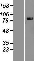 NBL1-09882 - DHX40 Lysate