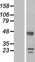 NBL1-15485 - DKFZp566F084 Lysate