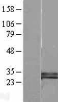 NBL1-09901 - DKK1 Lysate