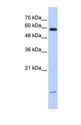 NBP1-54949 - DYNLL1