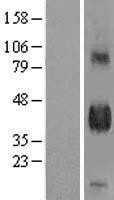 NBL1-09913 - DLK1 Lysate