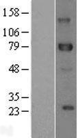 NBL1-09914 - DLL1 Lysate