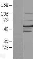 NBL1-09922 - DMAP1 Lysate