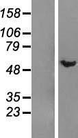 NBL1-09923 - DMAP1 Lysate