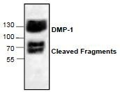 NBP1-45525 - DMP1