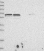 NBP1-89484 - DMP1