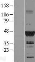 NBL1-09925 - DMRT1 Lysate