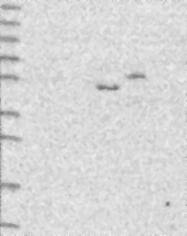 NBP1-85830 - DMRTA2