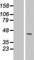 NBL1-09926 - DMRTC2 Lysate