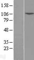 NBL1-12521 - DNA Ligase IV Lysate
