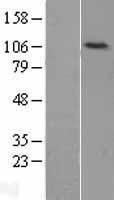 NBL1-12522 - DNA Ligase IV Lysate