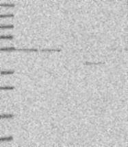NBP1-87970 - POLE2
