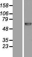 NBL1-14573 - DNA Polymerase lambda Lysate