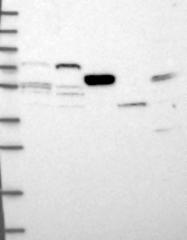 NBP1-90897 - DNA primase small subunit