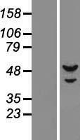 NBL1-14755 - DNA Primase small subunit Lysate