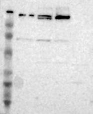 NBP1-82449 - POLA1
