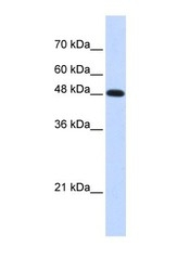 NBP1-58202 - DNA polymerase mu