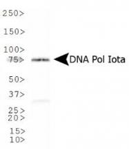 NB100-175 - DNA polymerase iota