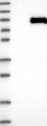 NBP1-84466 - DNAI1