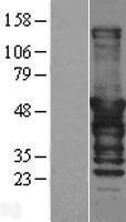 NBL1-09930 - DNAJA2 Lysate