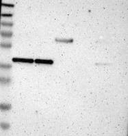 NBP1-84899 - DNAJB11
