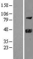 NBL1-09933 - DNAJB11 Lysate