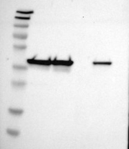 NBP1-85208 - DNAJB12