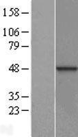 NBL1-09934 - DNAJB12 Lysate