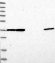 NBP1-82240 - DNAJB14