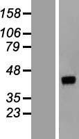 NBL1-09935 - DNAJB14 Lysate