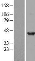 NBL1-09936 - DNAJB2 Lysate