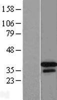 NBL1-09937 - DNAJB2 Lysate