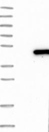 NBP1-82624 - DNAJB6