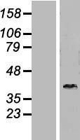 NBL1-09940 - DNAJB6 Lysate