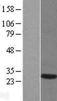 NBL1-09941 - DNAJB6 Lysate