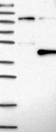 NBP1-81692 - DNAJB7 / HSC3