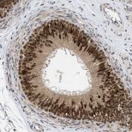 NBP1-85002 - DNAJC1 / HTJ1