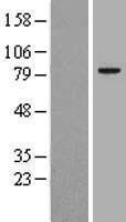 NBL1-09944 - DNAJC10 Lysate
